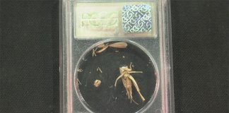 GreatCollections Offering the Cricket in the PCGS Sample Slab